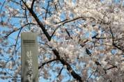 여의도 봄꽃축제 제한적 관람…버스 임시우회 통제